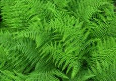 Fondo fresco verde della felce Fotografia Stock Libera da Diritti