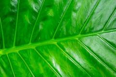 Fondo fresco verde La hoja del plátano inclinó las líneas diseño brillante de repetición simétrico del eco de la base del modelo imagen de archivo