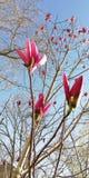 Fondo Germogli di fiore della magnolia contro gli alberi della molla e del cielo blu immagini stock libere da diritti