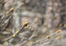 Fondo, germogli sboccianti del lillà Primavera, ramo dei wi del lillà Fotografie Stock Libere da Diritti