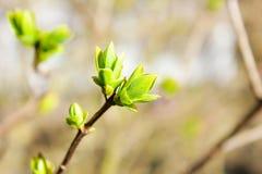 Fondo, germogli sboccianti del lillà Primavera, ramo dei wi del lillà Fotografia Stock