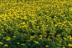 Fondo giallo dei fiori delle belle piante fotografia stock libera da diritti