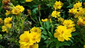 Fondo giallo del fiore Fotografia Stock Libera da Diritti