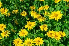 Fondo giallo del giacimento di fiori della margherita immagine stock libera da diritti