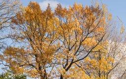 Fondo giallo dell'albero Fotografia Stock