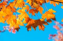 Fondo giallo dell'albero della foglia di acero di autunno immagini stock