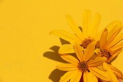 Fondo giallo della molla del fiore del bello di estate della foto sole della pianta immagini stock