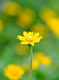 Fondo giallo della sfuocatura e del fiore Fotografie Stock Libere da Diritti