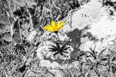 Fondo giallo di bianco e nero del fiore Fotografie Stock Libere da Diritti