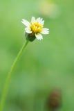 Fondo giallo di verde del fiore bianco Immagine Stock Libera da Diritti
