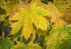 Fondo giallo e verde delle foglie di autunno fotografie stock libere da diritti