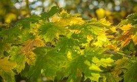 Fondo giallo e verde delle foglie di autunno immagine stock libera da diritti