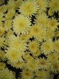 Fondo giallo eccellente del fiore fotografia stock libera da diritti
