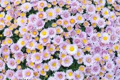Fondo giallo rosa viola del giacimento di fiori del crisantemo Natura morta floreale con molte mummie variopinte Fuoco selettivo immagine stock