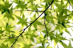 Fondo giapponese delle foglie di acero Fotografia Stock Libera da Diritti