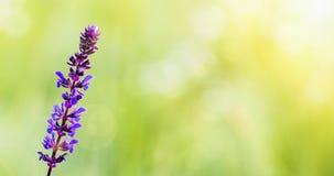 Fondo herbario púrpura de la flor con el espacio en blanco, espacio de la copia Foto de archivo