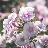 Fondo hermoso con las flores blandas - vintage de la falta de definición del defocus imágenes de archivo libres de regalías