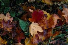 Fondo hermoso con las hojas de arce secas amarillas y anaranjadas Imagenes de archivo