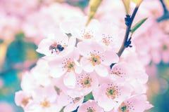 Fondo hermoso de la floración de la cereza con la abeja en la flor Foto de archivo