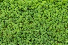 Fondo hermoso de la hierba del sward Foto de archivo libre de regalías