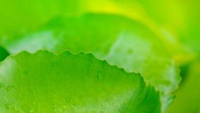 Fondo hermoso de la hoja del verde de Lotus Imagen de archivo
