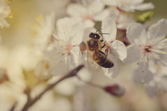 Fondo hermoso de la naturaleza con cerezas florecientes y una abeja Apenas llovido encendido Fondo borroso extracto hermoso de la Foto de archivo libre de regalías