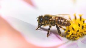 Fondo hermoso de la naturaleza con flores y una abeja Apenas llovido encendido Fondo enmascarado hermoso Foto de archivo libre de regalías