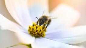 Fondo hermoso de la naturaleza con flores y una abeja Apenas llovido encendido Fondo enmascarado hermoso Imagen de archivo libre de regalías