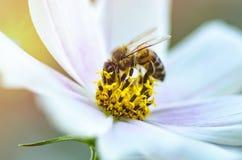 Fondo hermoso de la naturaleza con flores y una abeja Apenas llovido encendido Fondo enmascarado hermoso Fotografía de archivo libre de regalías
