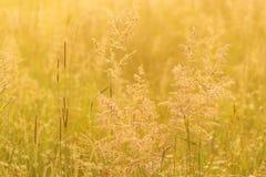 Fondo hermoso de la naturaleza con la hierba del campo y la luz del sol amarilla Fotografía de archivo