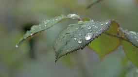 Fondo hermoso de la naturaleza con las gotas de agua y Rose Leaf mojada metrajes