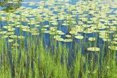 Fondo hermoso de la naturaleza con los lirios del lago y de agua Fotografía de archivo