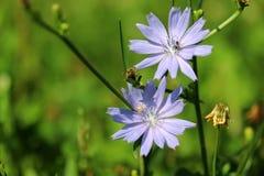 Fondo hermoso de la naturaleza del verano con las flores azules Fotografía de archivo libre de regalías