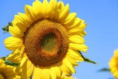 Fondo hermoso de la naturaleza del verano con los girasoles Fotos de archivo libres de regalías