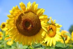 Fondo hermoso de la naturaleza del verano con los girasoles Foto de archivo libre de regalías
