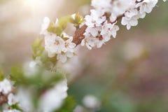 Fondo hermoso de la naturaleza E Copie el espacio Ramas de la cereza floreciente en naturaleza fotos de archivo
