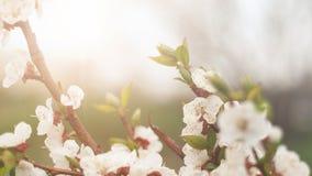 Fondo hermoso de la naturaleza E Copie el espacio Ramas de la cereza floreciente imagen de archivo libre de regalías