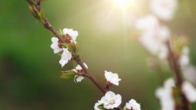Fondo hermoso de la naturaleza E Copie el espacio Ramas de la cereza floreciente imagenes de archivo