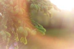 Fondo hermoso de la naturaleza E Copie el espacio Ramas mullidas del abeto en naturaleza en los rayos imagenes de archivo
