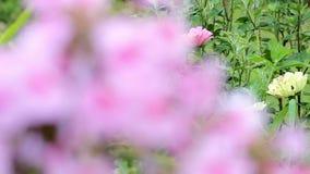 Fondo hermoso de la primavera con las flores rosadas en el jardín almacen de metraje de vídeo