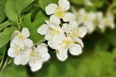 Fondo hermoso de la primavera con la rama floreciente del jazmín Foto de archivo