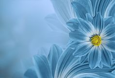 Fondo hermoso de la turquesa floral Composición de la flor de la margarita de las flores Lugar para el texto Fotografía de archivo libre de regalías