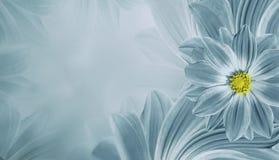 Fondo hermoso de la turquesa ligera floral Composición de la flor de la margarita de las flores Lugar para el texto Fotografía de archivo libre de regalías