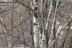 Fondo hermoso de los árboles de abedul Fotos de archivo