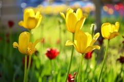 Fondo hermoso de los tulipanes de la flor Fotos de archivo libres de regalías