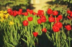 Fondo hermoso de los tulipanes de la flor Foto de archivo libre de regalías
