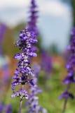 Fondo hermoso de Violet Lavender Flowers For Nature del ramo Fotos de archivo
