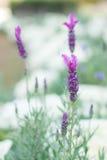 Fondo hermoso de Violet Lavender Flowers For Nature del ramo Fotografía de archivo