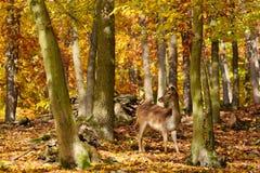 Fondo hermoso del color de la naturaleza del otoño en el bosque con los ciervos salvajes Ciervos en barbecho, (dama del Dama) Foto de archivo