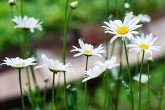 Fondo hermoso del jardín de los camomiles n Imagen de archivo libre de regalías